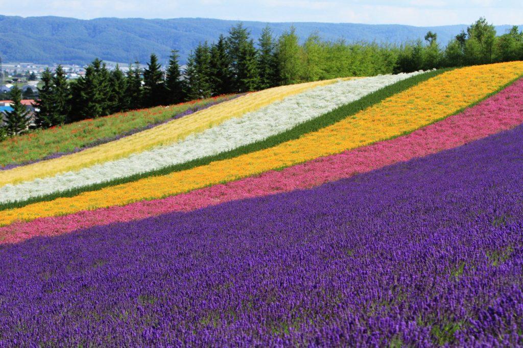 ทุ่งดอกไม้ฟูราโน่ (Furano Flower Field)